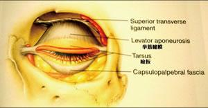 眼瞼イメージ