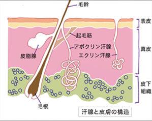 ワキの汗腺図解